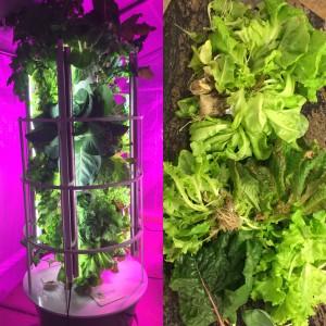 tower garden, vertical garden, urban gardener, harvest